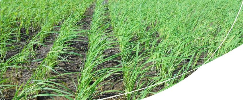 emergência na lavoura de arroz