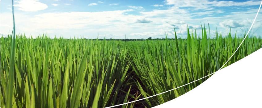Apresentação de unidade demonstrativa de semente premium IRGA 424 RI